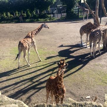 dublinzoobabygiraffe